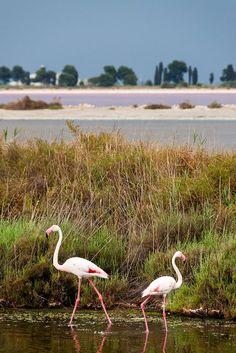 Camargue's Flamingos