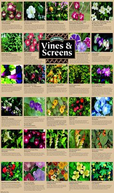 Climbing plants and vines for growing on screens and trellis- living fence