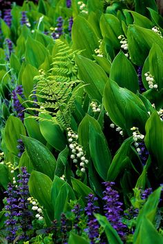 Bank of Convallaria majalis, Lily of the Valley, with purple ajuga reptans, bugleweed,  in Spring, Creekside Gardens, Roberts Creek, BC