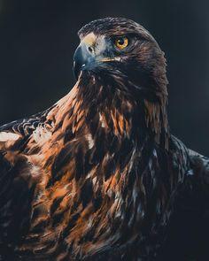 golden eagle  golden eagle birds of prey bird feathers