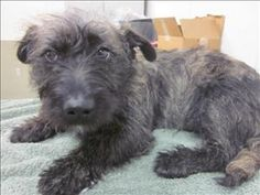 Poco is an adoptable Schnauzer Dog in Napa, CA. Hi, I'm Poco, a Schnauzer mix. I'm a lovable puppy! What else do you need to know? I mean, look at me... It doesn't get much cuter. Besides adorable, I'...