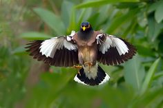 Myna landing  by Nitin  Prabhudesai on 500px ||  Wings spread of common myna while landing.  The Common Myna is readily identified by the brown body, black hooded head and the bare yellow patch behind the eye. The bill and legs are bright yellow. There is a white patch on the outer primaries and the wing lining on the underside is white.