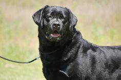 Our boy, Buck.  BISS GCH Mtn Meadow Buckeye Brutus