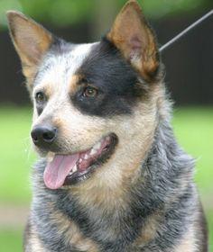 Blue Heeler Australian Cattle-Dog Puppy Dogs