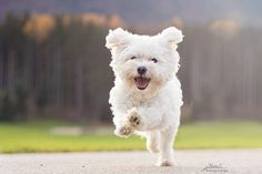 Cute Maltese dog, happy dog