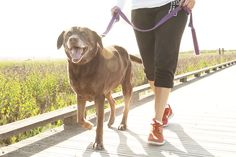 How to train your dog to walk with a loose leash. Contrary to popular belief, dogs that pull on the leash while being walked do not want to be pack leader, top dog, alpha, or dominant over their human. Baby Dogs, Pet Dogs, Pets, Kangal Dog, Food Dog, Dog Commands, Aggressive Dog, Dog Hacks, Dog Agility