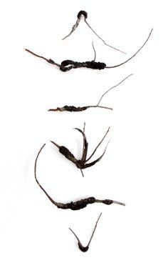 black knot fungi  (mary jo hoffman)