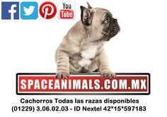 Aprovecha la súper barata en Cachorros de Pomerania lulú Hasta 20% más 15% de descuento y más. Aprovecha ó paga a 12 Meses Sin Intereses paga seguro con Pay Pal solo en http://www.VentadeCachorrosPerros.com/Excelentes Precios.¡Entra Gratis! entrega Garantizada. Ventas por Teléfono: (01)(229) 2.60.31.86 / (01229) 3.06.02.03 / ID Nextel 42*15*597183 Móvil 22.99.60.60.77 / 22.92.91.20.91 WhatsApp Si estás en el extranjero llámanos al +52 229 260 3186