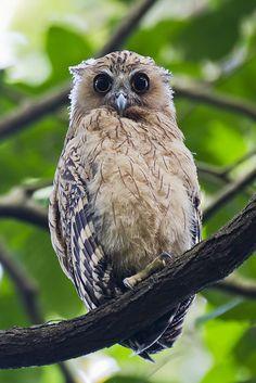 Buffy Fish-owl Juvenile