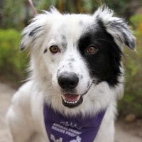 AFRP Dogs Available for AdoptionLobo is a cheerful 2-year-old, 42-pound Border Collie/Aussie mix with lots of tail wags, wiggles and happy energy! He came to us from the Monterey SPCA and is eager to find an active family familiar with the needs of herding breed dogs. Lobo is bright and eager to please. He has not had much formal training, but he's a quick learner and will be the head of his class in obedience school. Great potential for agility training or other dog sports!