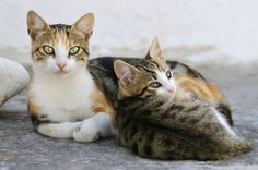 The Aegean cat, a naturally occurring breed found originally in Greece. They look like a calico tabby, but they are actually their own breed. Their eyes are gorgeous, they look like they're wearing eyeliner...the true cat's eye eyeliner! Read more about their colors & characteristic traits on the linked page...