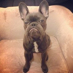 My brother @frank_the_funnyfrenchie 's best impression of Popeye. #grumpy