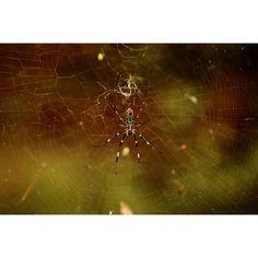 【huu_photo】さんのInstagramをピンしています。 《おはようございます!🍀先日、命がけでジョロウグモ撮りました。はいもう撮りません(;´Д`A  #女郎蜘蛛#上臈蜘蛛#ジョロウグモ #蜘蛛#クモ#鳥肌#蜘蛛の糸#糸#森 #微毒性#フォローミー#カメラ男子 #ファインダー越しの私の世界#nephilaclavata#eos#spider #toxicity#yarn#poison#insects #impact#ohmygod#photography  #followme#forest#nature#wonderful#desperate》