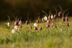 Snakes Head Fritillary. Find out more at http://gardenofeaden.blogspot.co.uk/2013/08/how-to-grow-snakes-head-fritillary.html