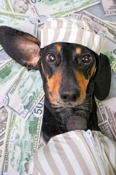 Top view of a happy dog breed dachshund, black and tan, lies on a pile of counterfeit money dollars in a criminal costume #dachshund
