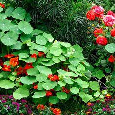 Nasturtium.  I need this in my garden.