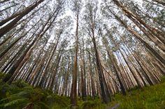 The forest in Black Spur near Marysville, Victoria | #MyMarysville. www.marysvilletourism.com