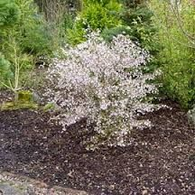 "Prunus incisa ""kojo no mai"" fantastic little shrub for a winter garden Height 2m Sun to dappled shade Any soil not too poor Early spring flowering"