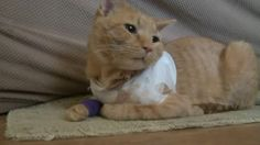 A cat named Opie was credited with saving the life of a 3-year-old Pennsylvania boy after the feline was hit by a bullet. The incident occurred last Thursday morning when the stray bullet went thro...