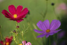 cosmos flowers images - Google Search Tiny Flowers, Growing Flowers, Planting Flowers, Beautiful Flowers, Most Popular Flowers, Cosmos Flowers, Leafy Plants, Annual Flowers, Perfect Plants