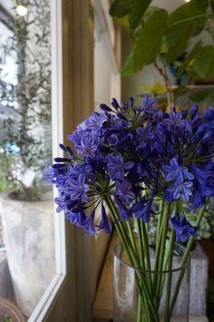 Agapanthus 紫式部 Murasaki-shikibu