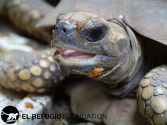 This Morrocoy Turtle is ready for its close up!