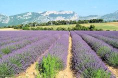 Les champs de lavande de Provence because you can never have too much lavender :)