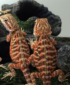 Bearded dragon morphs/colors/ kinds
