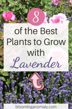 Here are some great plants that grow well with lavender. Learn more about lavender companion plants when you click on the link. Lavender Companion Plants, Lavender Plants, Purple Plants, Cottage Garden Patio, Herb Garden, Garden Plants, Growing Veggies, Growing Plants, Flower Gardening