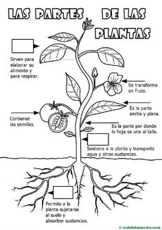 Parts of a plant for Primary children - Teacher& website Partes de una planta para niños de Primaria – Web del maestro Parts of a plant for primary school children - Science For Kids, Science Activities, Science Projects, Science And Nature, Learning Spanish, Kids Learning, Elementary Spanish, Plant Science, Parts Of A Plant