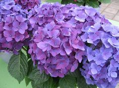 The full look of Hydrangeas are beautiful.  In the fall cut them to fit in vase, for example, and enjoy them as a dryed flower all winter.  A friend has a picture from Portugal where they grow especially nice.