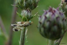 Gesterde vederdistelboorvlieg - Geleedpotigen (insect, spin, etc) - Gesterde vederdistelboorvlieg