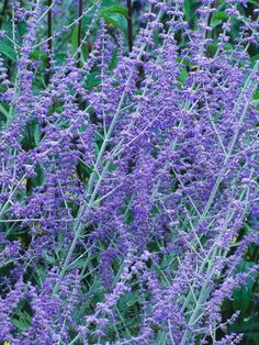 Russian Sage Learn about pruning Russian sage, including a few tips on Russian sage propagation, from the experts at HGTV Gardens.Learn about pruning Russian sage, including a few tips on Russian sage propagation, from the experts at HGTV Gardens. Landscaping Tips, Front Yard Landscaping, Russian Sage, Sage Plant, Sun Perennials, Purple Perennials, Sun Garden, Planting Plan, Border Plants