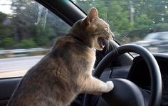 Driving cat  #cat #driving #funny