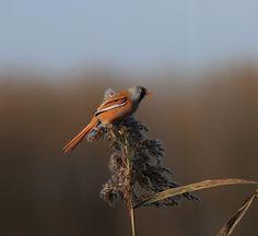 Baardman ( man ) Fotograaf: vroegevogeljan Nederlandse naam: Baardman Wetensch. naam: Panurus biarmicus