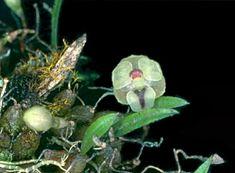 Homalopetalum pumilum