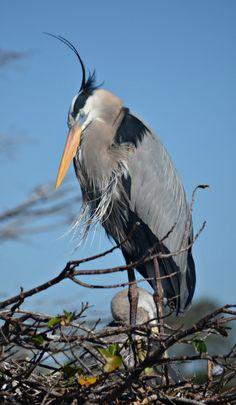 Great Blue Heron near her nest