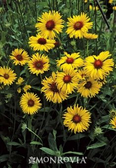 The Amber Wheels Blanket Flower is a wonderful perennial that even attracts butterflies!
