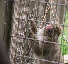 My monkey! Japanese macaque @ Calgary Zoo