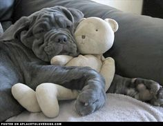 The Neapolitan Mastiff originated from the ancient Mastiffs about one thousand years ago. It was used for hunting, guarding and herding. The Neapolitan Mastiff is most commonly seen in gray, black, mahogany, tawny, tawny stag, and brindle.