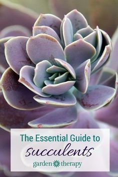 This is THE Guide to caring for succulents - choosing, planting, water, light, pruning and even container ideas