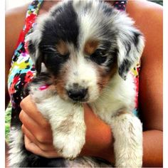 Another Australian Shepherd :)