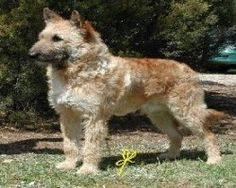 Pictures of Belgian Shepherd Laekenois