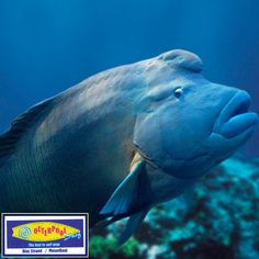 While it is also known as the Napolean fish, the Humphead wrasse gets its name from an obvious anatomic feature. It's one of the largest coral reef fishes and can be found on reefs throughout the islands of the Pacific and parts of the Indian Ocean. Oh, and it's hermaphroditic, changing from one sex to the other during the course of its maturation.  #endangered #SeaAnimals #Humphead