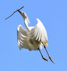 Egret's Graceful Flight