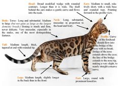 The Bengal Cat Standard