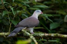 2727. Mountain Imperial Pigeon (Ducula badia)   has a wide range in southeastern Asia, where it occurs in Bhutan, Brunei, Cambodia, China, India, Indonesia, Laos, Malaysia, Myanmar, Nepal, Thailand, and Vietnam