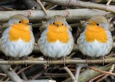 Three little Robins all in a row