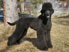 Google Image Result for http://www.poodleforum.com/attachments/poodle-grooming/27712d1350158197-wanna-help-our-first-stylized-clip-poodles.jpg