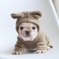 Frenchie World® ultra soft hoodie – Frenchie World Shop French Bulldog Costume, Cute French Bulldog, French Bulldog Puppies, French Bulldogs, French Bulldog Clothes, Cãezinhos Bulldog, Cute Puppies, Dogs And Puppies, Teacup Puppies